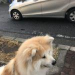 武蔵新城で秋田犬